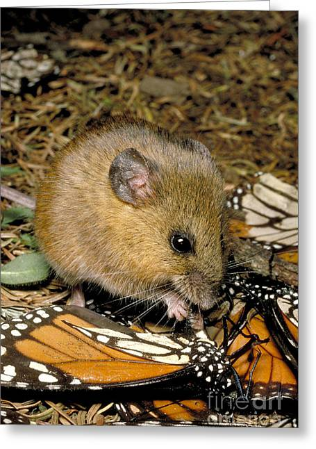 Butterfly Prey Greeting Cards - Harvest Mouse Eating Monarchs Greeting Card by Gregory G. Dimijian