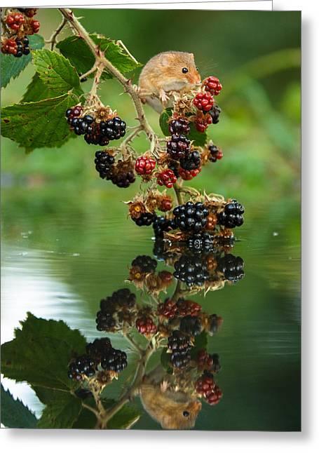 Reflection Harvest Greeting Cards - Harvest mouse on blackberries with reflection Greeting Card by Izzy Standbridge