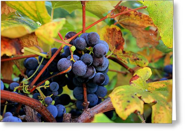 Concord Grapes Greeting Cards - Harvest Smell Greeting Card by Glenn Curtis