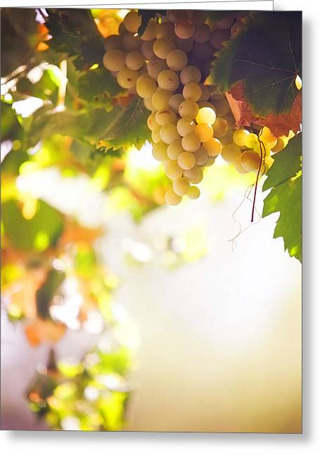 Winemaking Greeting Cards - Harvest Time. Sunny grapes I Greeting Card by Jenny Rainbow