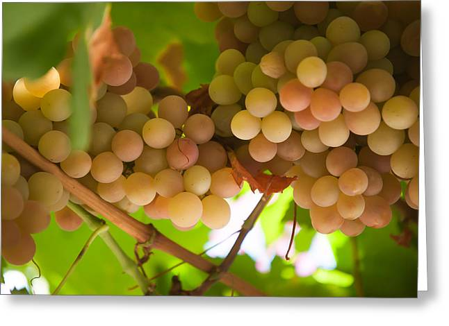 Winemaking Greeting Cards - Harvest Time. Sunny Grapes II Greeting Card by Jenny Rainbow