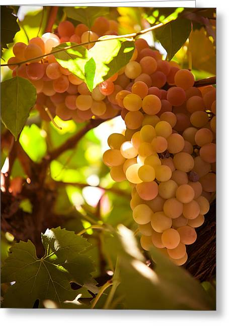 Winemaking Greeting Cards - Harvest Time. Sunny Grapes III Greeting Card by Jenny Rainbow