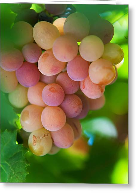 Winemaking Greeting Cards - Harvest Time. Sunny Grapes Greeting Card by Jenny Rainbow