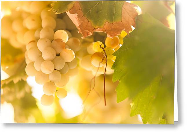 Winemaking Greeting Cards - Harvest Time. Sunny Grapes VI Greeting Card by Jenny Rainbow