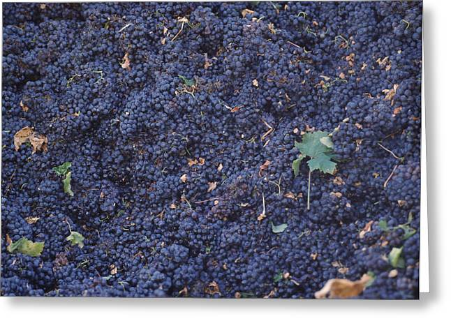 Red Grapes Greeting Cards - Harvested Cabernet Sauvignon Grapes Greeting Card by Panoramic Images