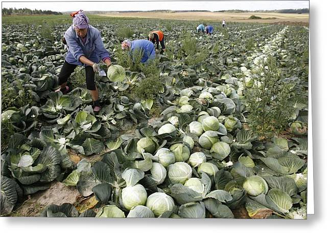 Manual Greeting Cards - Harvesting cabbages Greeting Card by Science Photo Library