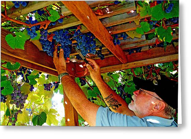 Concord Grapes Greeting Cards - Harvesting Greeting Card by John Langdon