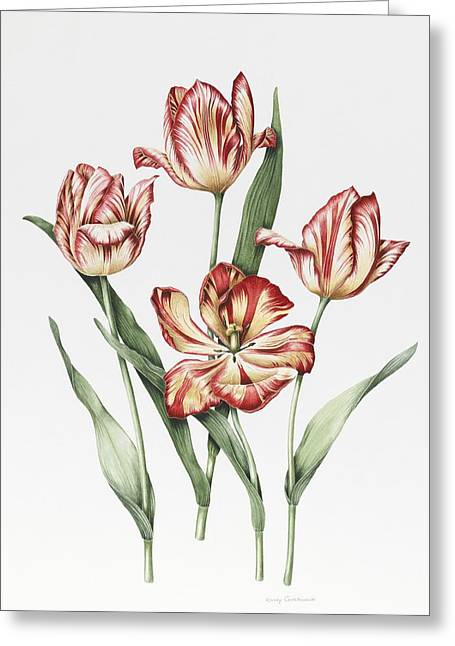 Hatfield Tulip Greeting Card by Sally Crosthwaite