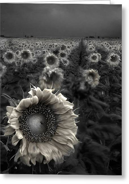Foggy Landscapes Greeting Cards - Haunting Sunflower fields 1 Greeting Card by Dave Dilli
