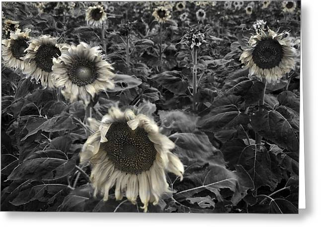 Larkspur Greeting Cards - Haunting Sunflower Fields 2 Greeting Card by Dave Dilli