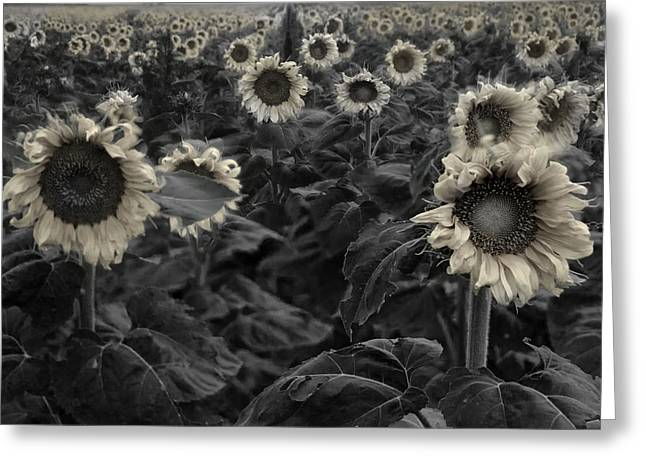 Haunting Sunflowers Field 3 Greeting Card by Dave Dilli