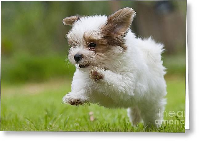 Bijon Frise Greeting Cards - Havana Bichon Puppy  Greeting Card by Marvin Blaine