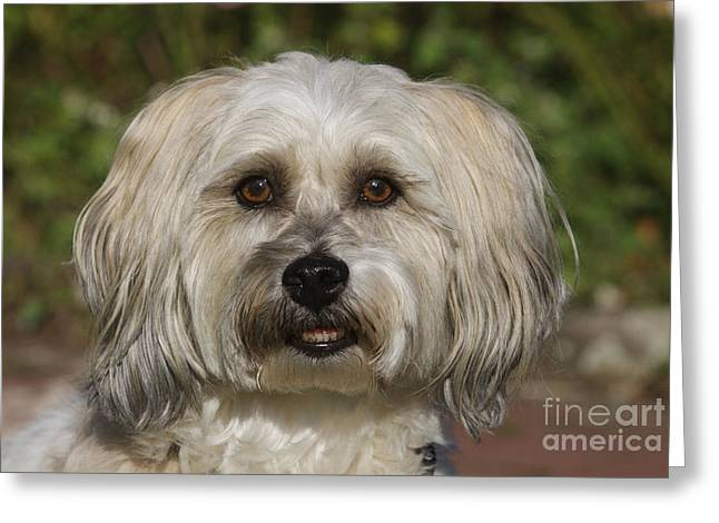 Cute Havanese Greeting Cards - Havanese Dog Greeting Card by Brinkmann/Okapia
