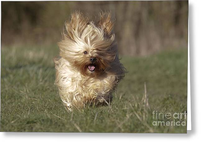 Cute Havanese Greeting Cards - Havanese Dog Running Greeting Card by Jean-Michel Labat