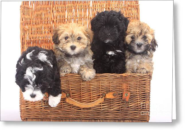 Cute Havanese Greeting Cards - Havanese Puppies Greeting Card by Christine Steimer