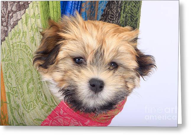 Cute Havanese Greeting Cards - Havanese Puppy Greeting Card by Christine Steimer