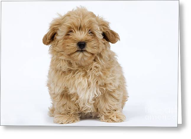 Cute Havanese Greeting Cards - Havanese Puppy Greeting Card by Jean-Michel Labat