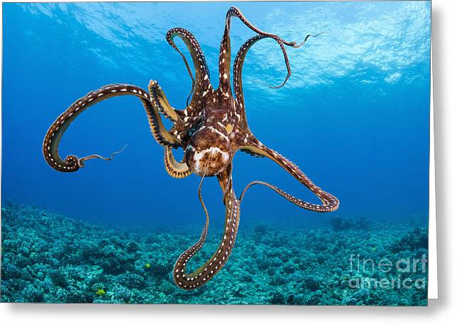 Invertebrates Greeting Cards - Hawaii, Day Octopus _Octopus Cyanea_. Greeting Card by Dave Fleetham