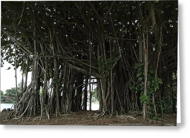 """spreading Tree"" Greeting Cards - Hawaiian Banyan Tree - Hilo City Greeting Card by Daniel Hagerman"