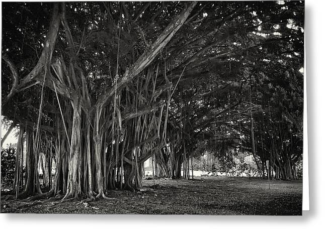Dripping Vines Greeting Cards - Hawaiian Banyan Tree Root Study Greeting Card by Daniel Hagerman