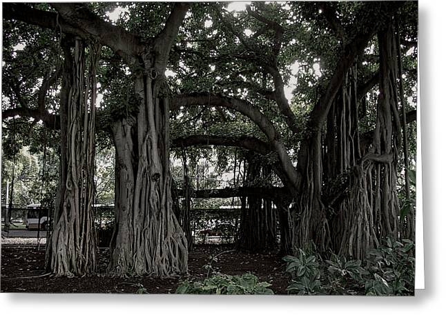 Tree Roots Photographs Greeting Cards - Hawaiian Banyan Trees Greeting Card by Daniel Hagerman