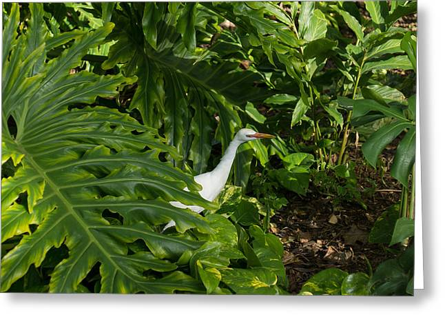 Philodendron Greeting Cards - Hawaiian Garden Visitor - a Bright White Egret in the Lush Greenery Greeting Card by Georgia Mizuleva