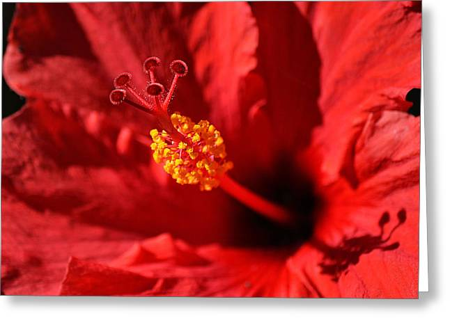 """flora Prints"" Greeting Cards - Hawaiian Rouge Hibiscus Greeting Card by Chris Frost"