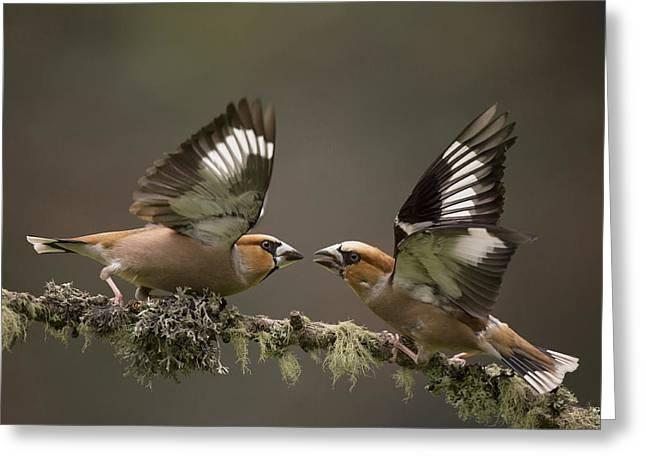 Hawfinch Males Fighting Gelderland Greeting Card by Edwin Kats