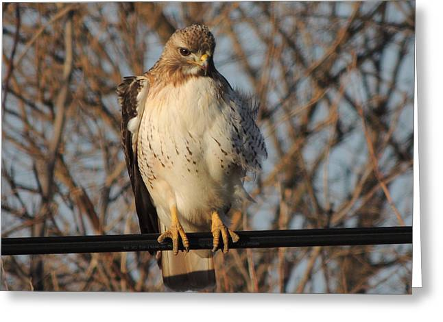 Hawk #21 Greeting Card by TODD SHERLOCK
