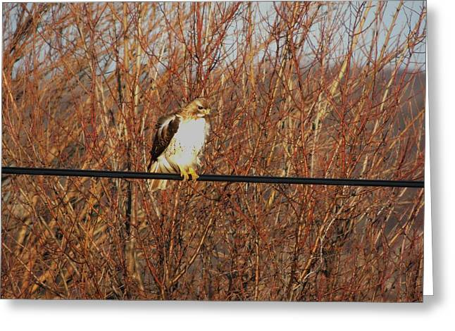 HAWK #22 Greeting Card by TODD SHERLOCK