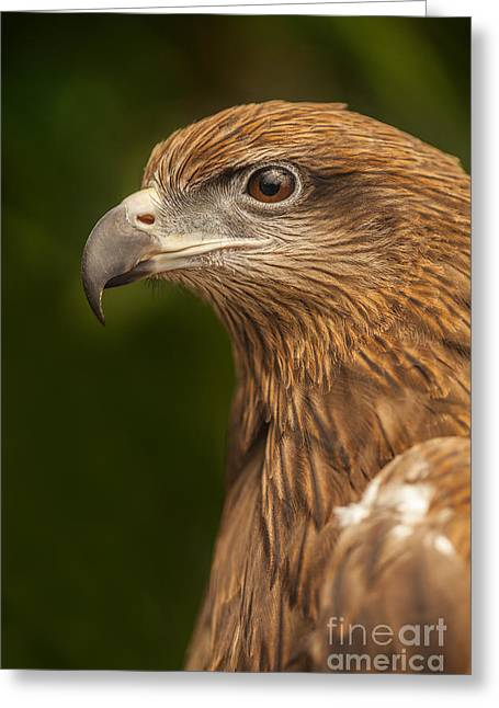 Kites Greeting Cards - Hawk Greeting Card by Anek Suwannaphoom