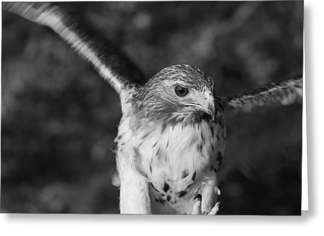 Hawk Greeting Cards - Hawk Attack Black And White Greeting Card by Dan Sproul