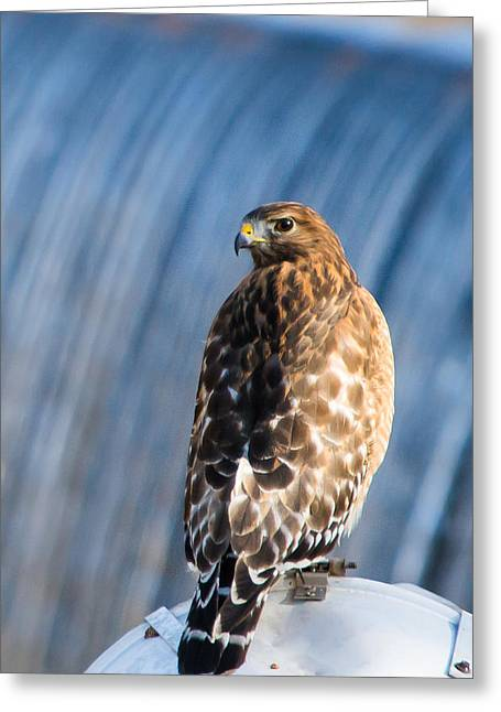 Birds Of A Feather Greeting Cards - Hawk by the Waterfall Greeting Card by Shelby  Young