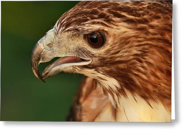 Hawk Greeting Cards - Hawk Eyes Greeting Card by Dan Sproul