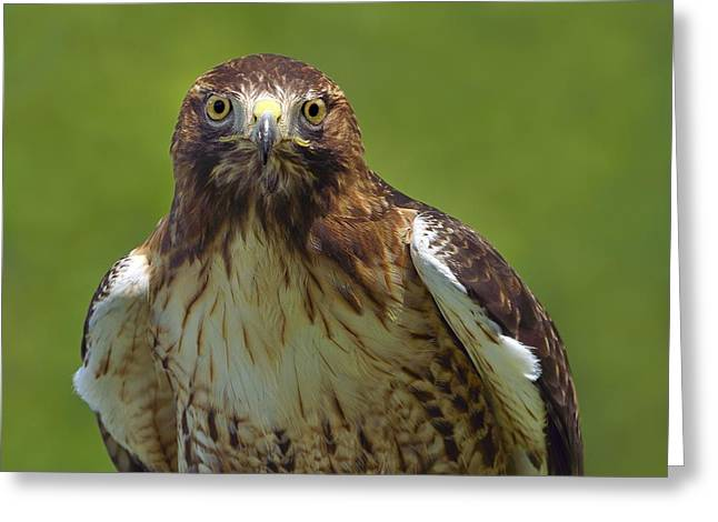 Wide-eyed Greeting Cards - Hawk Eyes Greeting Card by Tony Beck