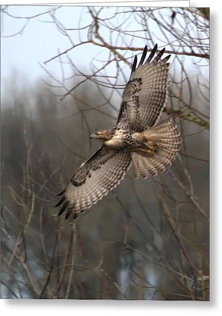 Red-tailed Hawk Greeting Cards - Hawk in Flight Greeting Card by Angie Vogel