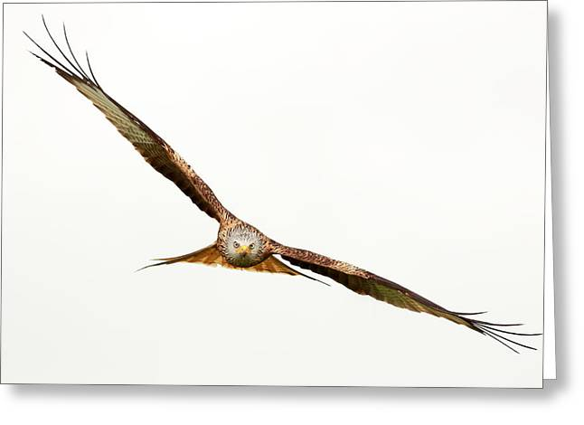 Red Kite Greeting Cards - Hawk in flight Greeting Card by Grant Glendinning