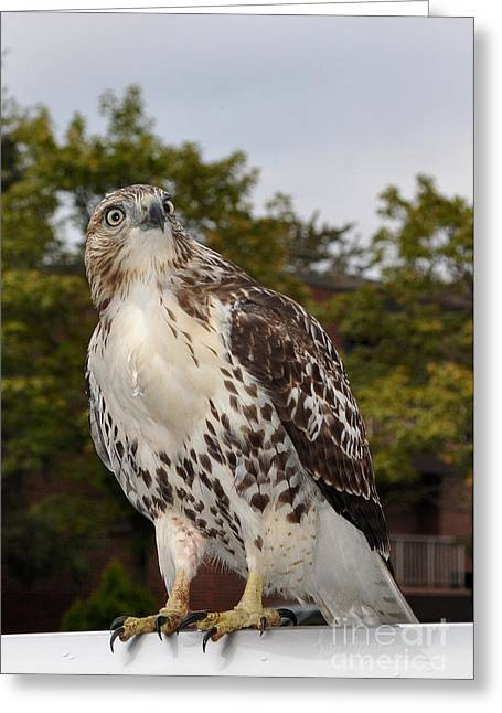 Purchase Art Greeting Cards - Hawk Greeting Card by Luke Moore