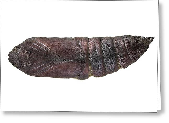 Cocoon Greeting Cards - Hawk moth cocoon Greeting Card by Science Photo Library