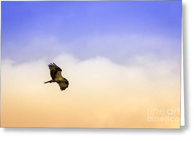 Sea Gulls Greeting Cards - Hawk over Head Greeting Card by Marvin Spates