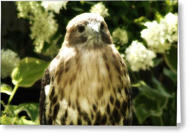 Red Tail Hawk Digital Art Greeting Cards - Hawk Portrait Greeting Card by Gothicolors Donna Snyder