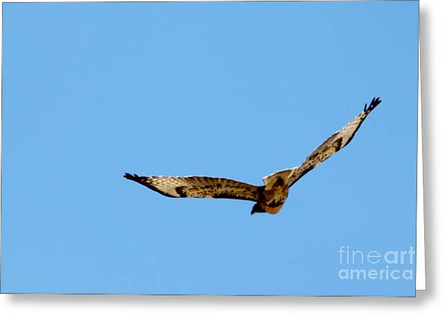 Nature Greeting Cards - Hawk Sailing Above Blue Skies Greeting Card by Janice Rae Pariza