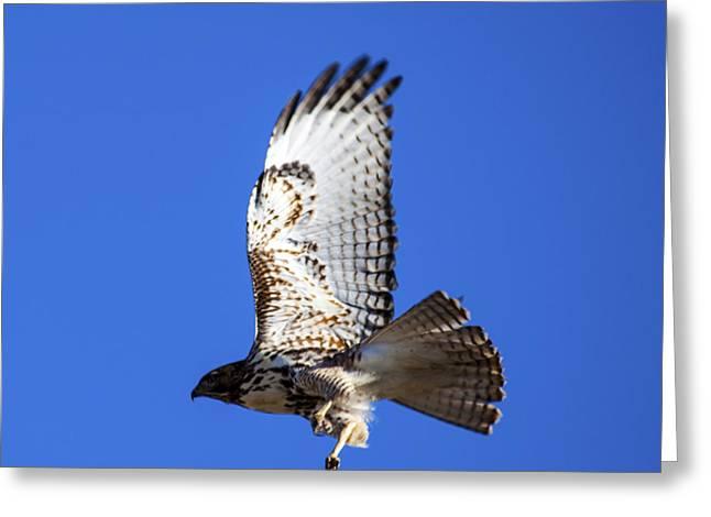 Soaring Falcon Greeting Cards - Hawk Take Off Greeting Card by Janice Rae Pariza