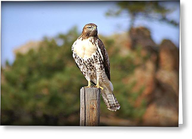 Standing Pyrography Greeting Cards - Hawk Watch Greeting Card by Krisztina  Gayler