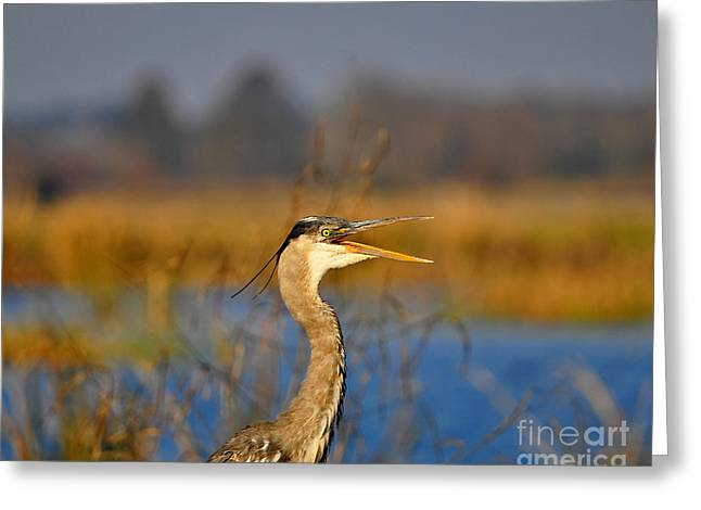 Grey Heron Greeting Cards - Hawking Heron Greeting Card by Al Powell Photography USA