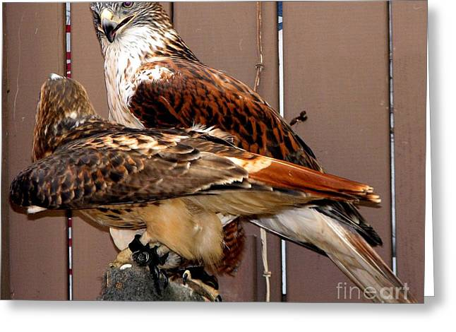 Hawk Creek Greeting Cards - Hawks Greeting Card by Rose Santuci-Sofranko