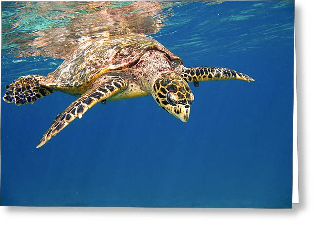 Ocean Habitat Greeting Cards - Hawksbill Greeting Card by Alexey Stiop