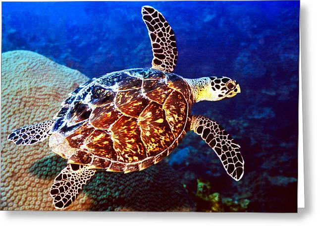 Hawksbill Sea Turtle Greeting Cards - Hawksbill Greeting Card by Jean Noren