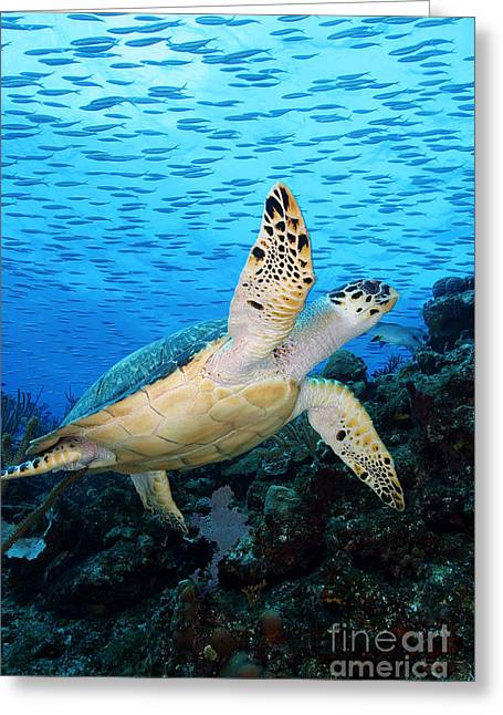 Green Turtle Greeting Cards - Hawksbill on Eldorado Greeting Card by Anna Bennett