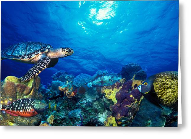 Four Animals Greeting Cards - Hawksbill Turtle Eretmochelys Imbricata Greeting Card by Panoramic Images